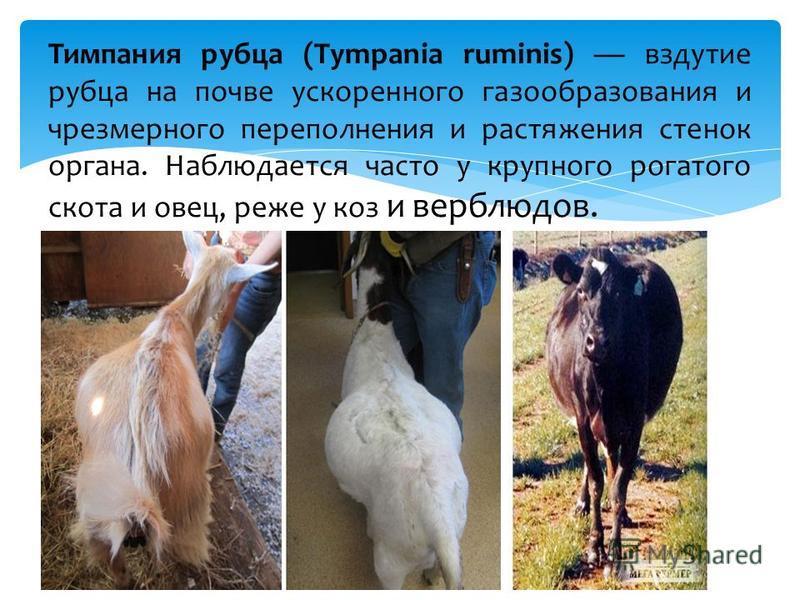 Тимпания рубца (Tympania ruminis) вздутие рубца на почве ускоренного газообразования и чрезмерного переполнения и растяжения стенок органа. Наблюдается часто у крупного рогатого скота и овец, реже у коз и верблюдов.