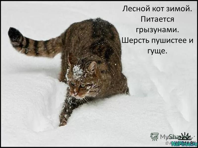 Лесной кот зимой. Питается грызунами. Шерсть пушистее и гуще.