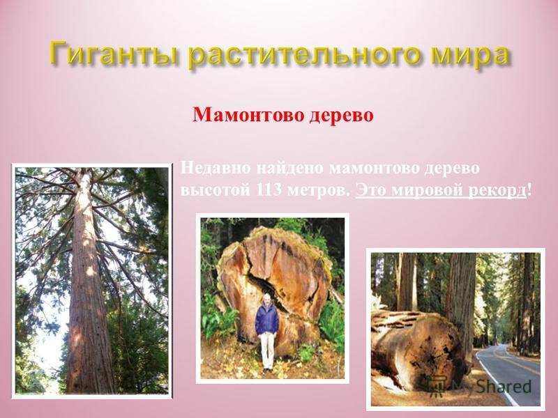 Мамонтово дерево Эти гиганты растут в горах Калифорнии. Учённе называют их секвойядендрон, или веллингтония. Высота такого дерева превышает 100 метров ! Это выше тридцатиэтажного дома ! Ровный как мачта ствол бывает до 10 метров в обхвате ! А наверху