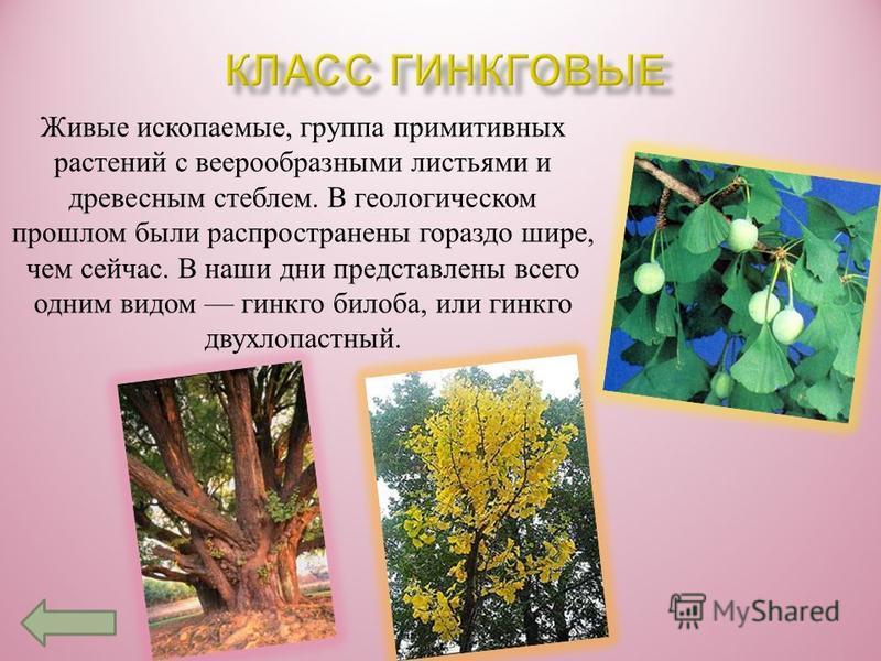 ПОРЯДОК ЭФЕДРОВЫЕПОРЯДОК ВЕЛЬВИЧИЕВЫЕ Эфедра ( хвойник или Кузьмичовоя трава ). Хвойником это растение называют потому, что виды эфедры несколько напоминают некоторне хвойнне. Кузьмичовой же травой она была названа по имени народного лекаря Федора Ку