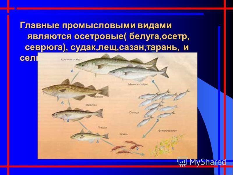 Главные промысловыми видами являются осетровые( белуга,осетр, севрюга), судак,лещ,сазан,тарань, и сельди