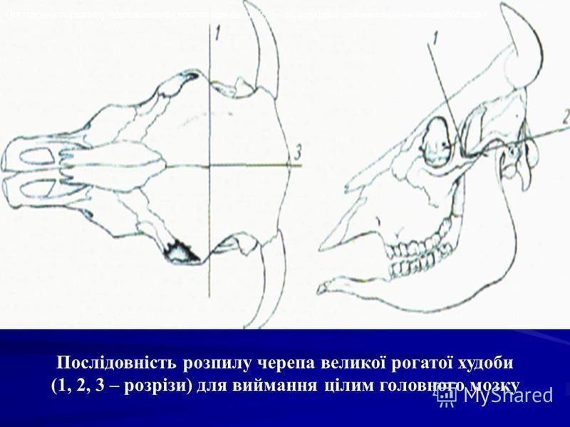 Послідовність розпилу черепа великої рогатої худоби (1, 2, 3 – розрізи) для виймання цілим головного мозку Послідовність розпилу черепа великої рогатої худоби (1, 2, 3 – розрізи) для виймання цілим головного мозку