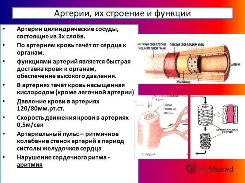 Артерии, их строение и функции Артерии цилиндрические сосуды, состоящие из 3 х слоёв. По артериям кровь течёт от сердца к органам. функциями артерий является быстрая доставка крови к органам, обеспечение высокого давления. В артериях течёт кровь насы