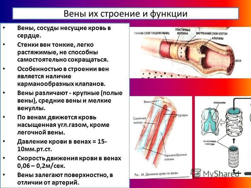 Вены их строение и функции Вены, сосуды несущие кровь в сердце. Стенки вен тонкие, легко растяжимые, не способны самостоятельно сокращаться. Особенностью в строении вен является наличие карманообразных клапанов. Вены различают - крупные (полые вены),