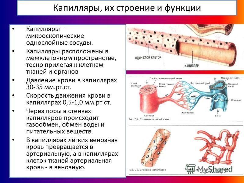 Капилляры, их строение и функции Капилляры – микроскопические однослойные сосуды. Капилляры расположены в межклеточном пространстве, тесно прилегая к клеткам тканей и органов Давление крови в капиллярах 30-35 мм.рт.ст. Скорость движения крови в капил