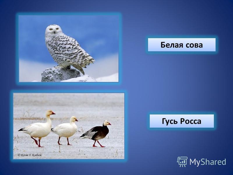 Белая сова Гусь Росса