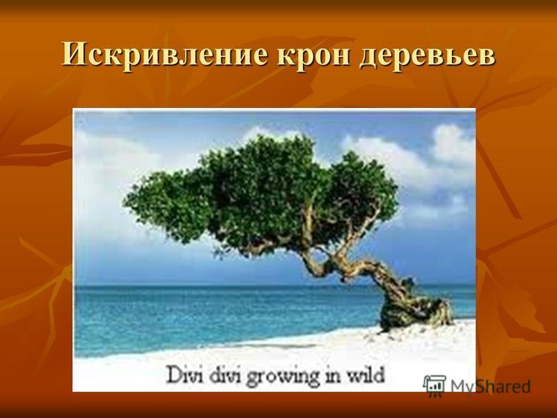 Искривление крон деревьев