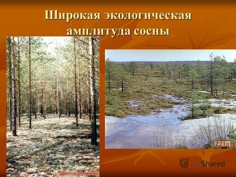 Широкая экологическая амплитуда сосны