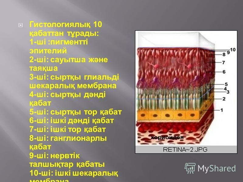 Гистологиялық 10 қабаттан тұрады: 1-ші :пигментті эпителий 2-ші: сауытша және таяқша 3-ші: сыртқы глиальді шокаралық мембрана 4-ші: сыртқы дәнді қабат 5-ші: сыртқы тор қабат 6-ші: ішкі дәнді қабат 7-ші: ішкі тор қабат 8-ші: ганглионарлы қабат 9-ші: н