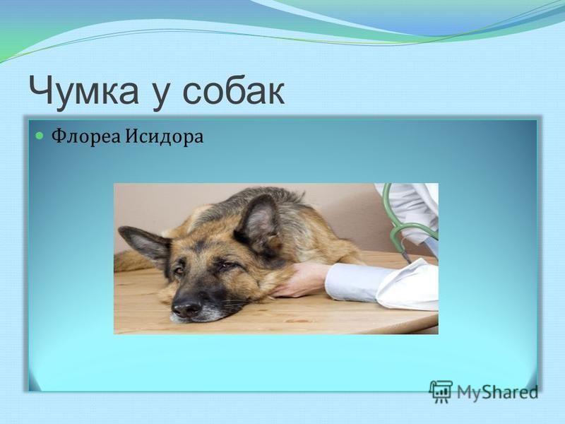 Чумка у собак Флореа Исидора