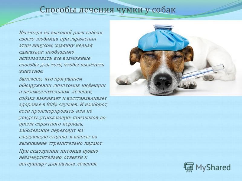 Способы лечения чумки у собак Несмотря на высокий риск гибели своего любимца при заражении этим вирусом, хозяину нельзя сдаваться: необходимо использовать все возможные способы для того, чтобы вылечить животное. Замечено, что при раннем обнаружении с