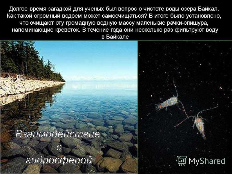 Долгое время загадкой для ученых был вопрос о чистоте воды озера Байкал. Как такой огромный водоем может самоочищаться? В итоге было установлено, что очищают эту громадную водную массу маленькие рачки-эпишура, напоминающие креветок. В течение года он