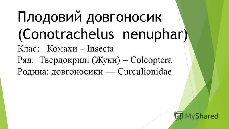 Плодовий довгоносик (Conotrachelus nenuphar) Клас: Комахи – Insecta Ряд: Твердокрилі (Жуки) – Coleoptera Родина: довгоносики Curculionidae