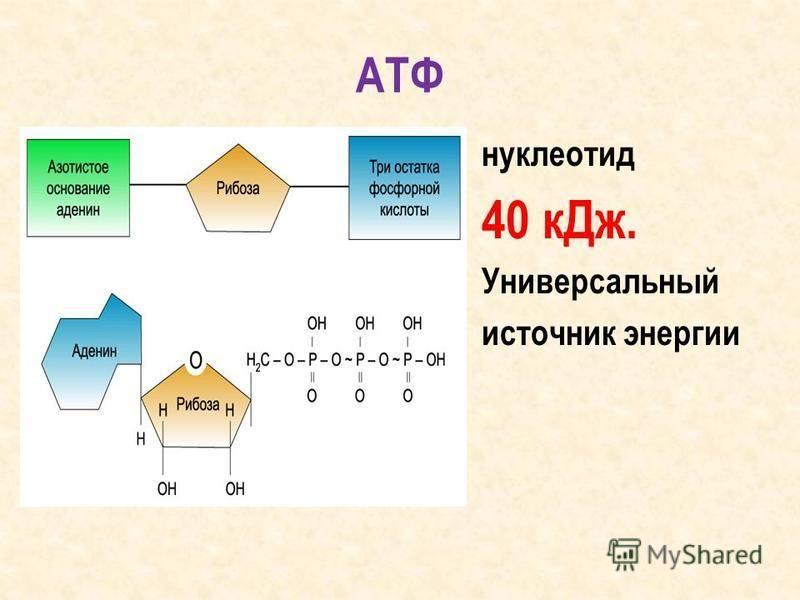 АТФ нуклеотид 40 к Дж. Универсальный источник энергии