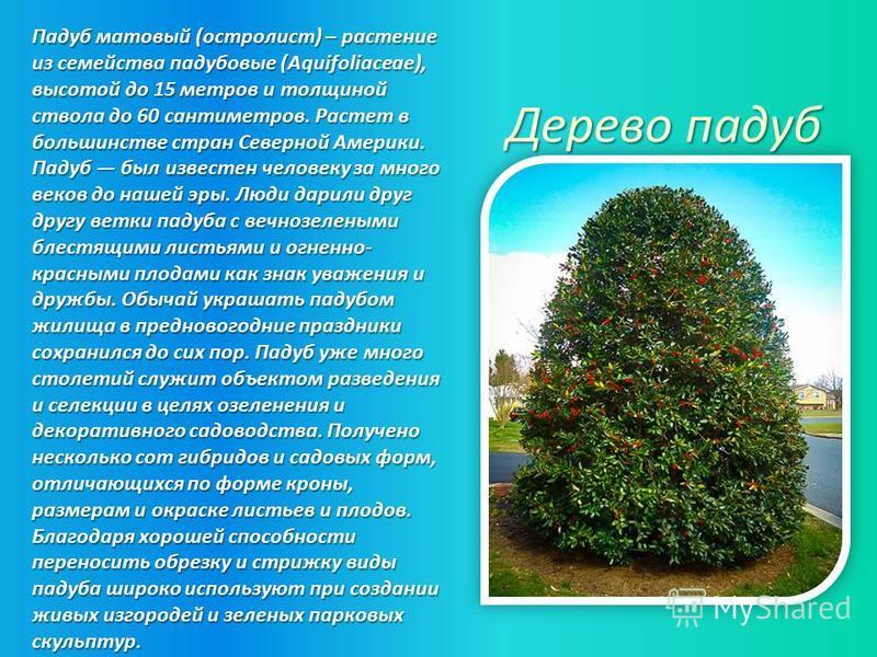 Падуб матовый (остролист) – растение из семейства падубовые (Aquifoliaceae), высотой до 15 метров и толщиной ствола до 60 сантиметров. Растет в большинстве стран Северной Америки. Падуб был известен человеку за много веков до нашей эры. Люди дарили д