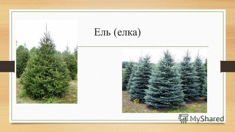 Ель (елка)