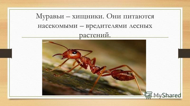 Муравьи – хищники. Они питаются насекомыми – вредителями лесных растений.