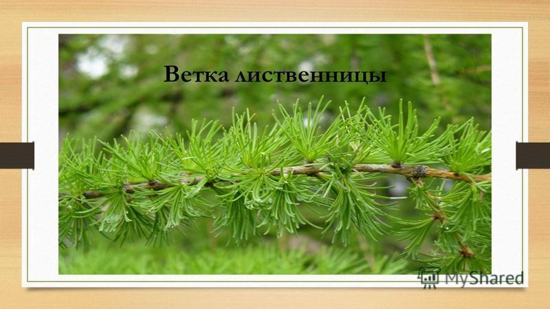 Ветка лиственницы