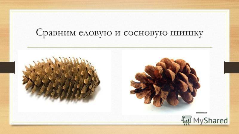 Сравним еловую и сосновую шишку