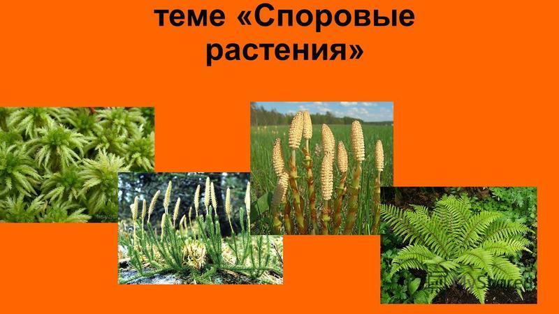 Обобщение знаний по теме «Споровые растения»