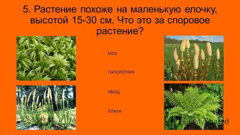 5. Растение похоже на маленькую елочку, высотой 15-30 см. Что это за споровое растение? 1 3 2 4 МОХ ПАПОРОТНИК ХВОЩ ПЛАУН