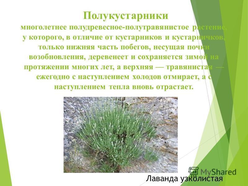 Полукустарники многолетнее полу древесное-полу травянистое растение, у которого, в отличие от кустарников и кустарничков, только нижняя часть побегов, несущая почки возобновления, деревенеет и сохраняется зимой на протяжении многих лет, а верхняя тра