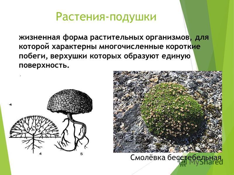 Растения-подушки жизненная форма растительных организмов, для которой характерны многочисленные короткие побеги, верхушки которых образуют единую поверхность. Смолёвка бесстебельная