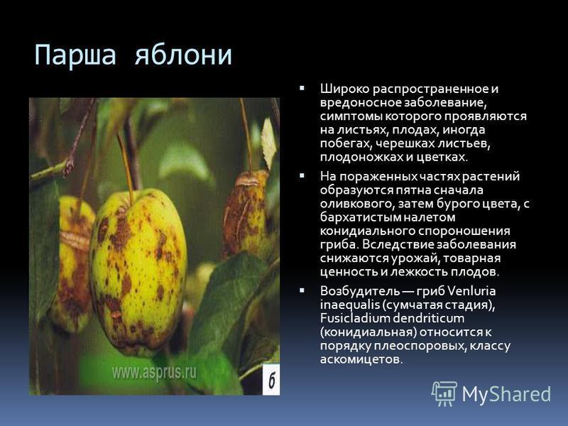 Парша яблони Широко распространенное и вредоносное заболевание, симптомы которого проявляются на листьях, плодах, иногда побегах, черешках листьев, плодоножках и цветках. На пораженных частях растений образуются пятна сначала оливкового, затем бурого