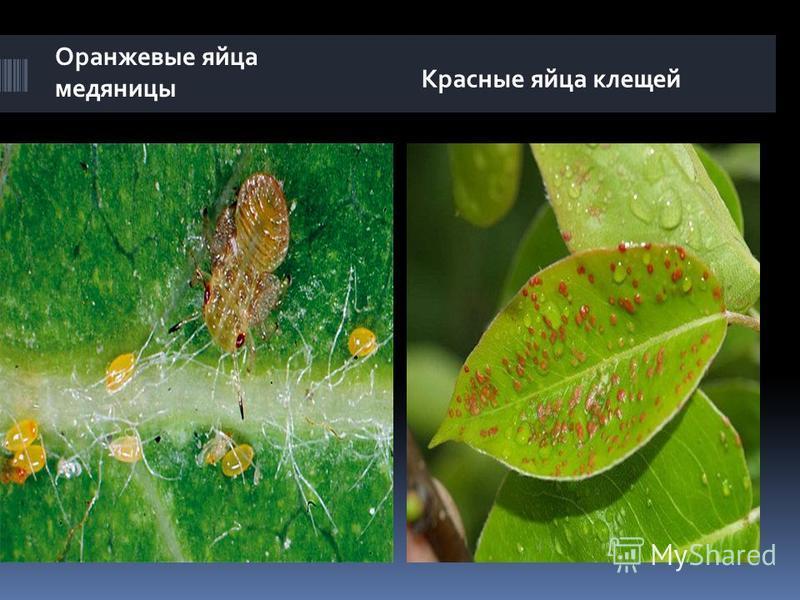 Оранжевые яйца медяницы Красные яйца клещей