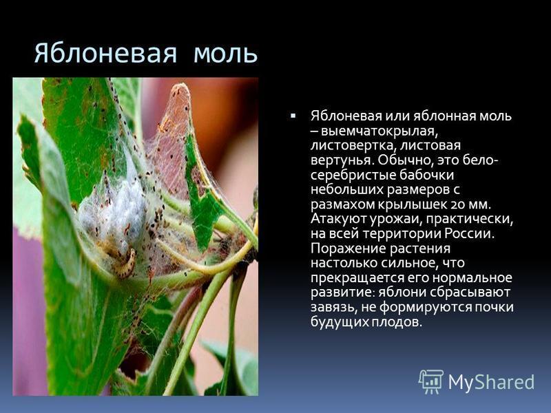 Яблоневая моль Яблоневая или яблонная моль – выемчатокрылая, листовертка, листовая вертунья. Обычно, это бело- серебристые бабочки небольших размеров с размахом крылышек 20 мм. Атакуют урожаи, практически, на всей территории России. Поражение растени