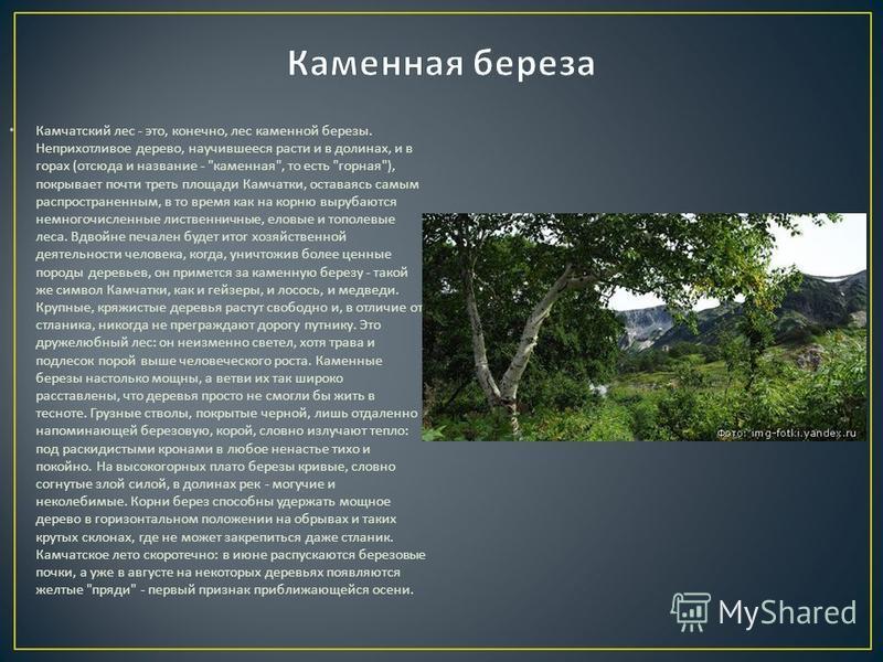Камчатский лес - это, конечно, лес каменной березы. Неприхотливое дерево, научившееся расти и в долинах, и в горах ( отсюда и название -