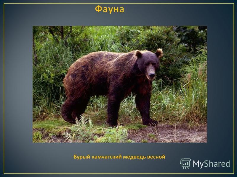 Бурый камчатский медведь весной