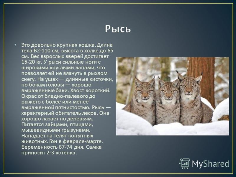 Это довольно крупная кошка. Длина тела В 2-110 см, высота в холке до 65 см. Вес взрослых зверей достигает 15-20 кг. У рыси сильные ноги с широкими круглыми лапами, что позволяет ей не вязнуть в рыхлом снегу. На ушах длинные кисточки, по бокам головы