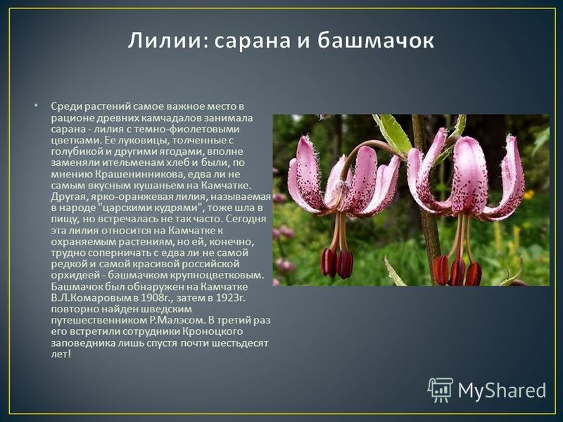 Среди растений самое важное место в рационе древних камчадалов занимала сарана - лилия с темно - фиолетовыми цветками. Ее луковицы, толченные с голубикой и другими ягодами, вполне заменяли ительменам хлеб и были, по мнению Крашенинникова, едва ли не