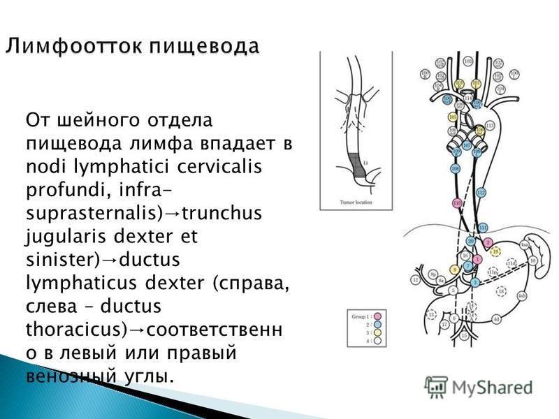 От шейного отдела пищевода лимфа впадает в nodi lymphatici cervicalis profundi, infra- suprasternalis)trunchus jugularis dexter et sinister)ductus lymphaticus dexter (справа, слева – ductus thoracicus)соответственно в левый или правый венозный углы.