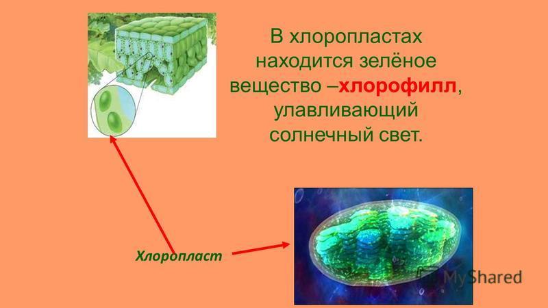 Хлоропласт В хлоропластах находится зелёное вещество –хлорофилл, улавливающий солнечный свет.