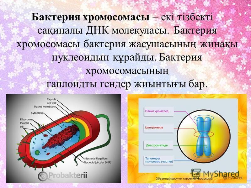 Бактерия хромосомасы – екі тізбекті сақиналы ДНК молекуласы. Бактерия хромосомасы бактерия жасушасының жинақы нуклеотиды құрайды. Бактерия хромосомасының гаплоидты гендер жиынтығы бар.