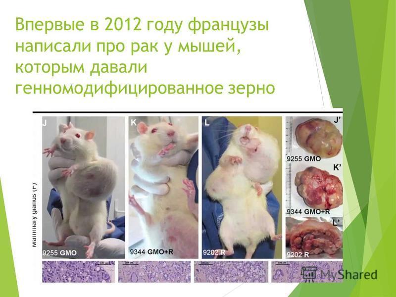 Впервые в 2012 году французы написали про рак у мышей, которым давали генномодификациированное зерно