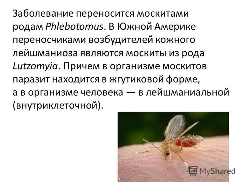 Заболевание переносится москитами родам Phlebotomus. В Южной Америке переносчиками возбудителей кожного лейшманиоза являются москиты из рода Lutzomyia. Причем в организме москитов паразит находится в жгутиковой форме, а в организме человека в лейшман