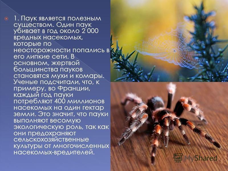 1. Паук является полезным существом. Один паук убивает в год около 2 000 вредных насекомых, которые по неосторожности попались в его липкие сети. В основном, жертвой большинства пауков становятся мухи и комары. Ученые подсчитали, что, к примеру, во Ф