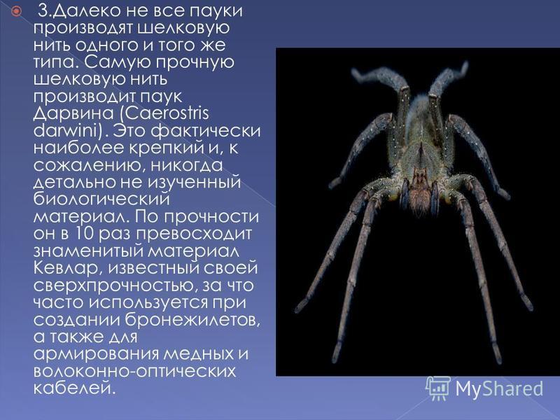 3. Далеко не все пауки производят шелковую нить одного и того же типа. Самую прочную шелковую нить производит паук Дарвина (Caerostris darwini). Это фактически наиболее крепкий и, к сожалению, никогда детально не изученный биологический материал. По
