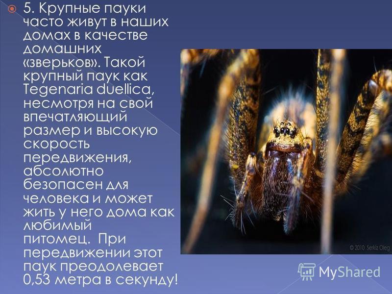 5. Крупные пауки часто живут в наших домах в качестве домашних «зверьков». Такой крупный паук как Tegenaria duellica, несмотря на свой впечатляющий размер и высокую скорость передвижения, абсолютно безопасен для человека и может жить у него дома как