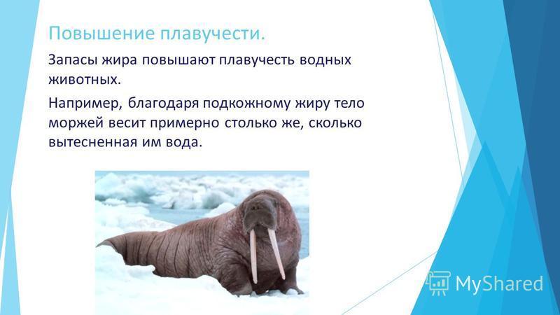 Повышение плавучести. Запасы жира повышают плавучесть водных животных. Например, благодаря подкожному жиру тело моржей весит примерно столько же, сколько вытесненная им вода.