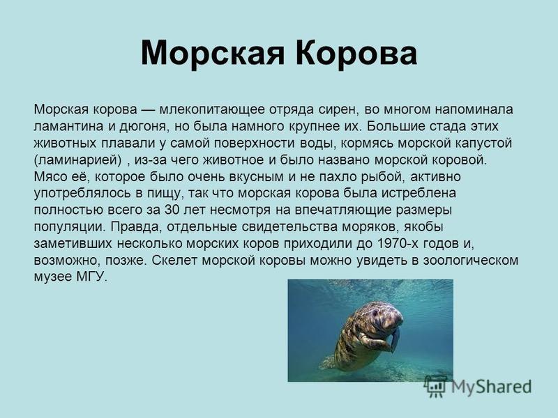 Морская Корова Морская корова млекопитающее отряда сирен, во многом напоминала ламантина и дюгоня, но была намного крупнее их. Большие стада этих животных плавали у самой поверхности воды, кормясь морской капустой (ламинарией), из-за чего животное и