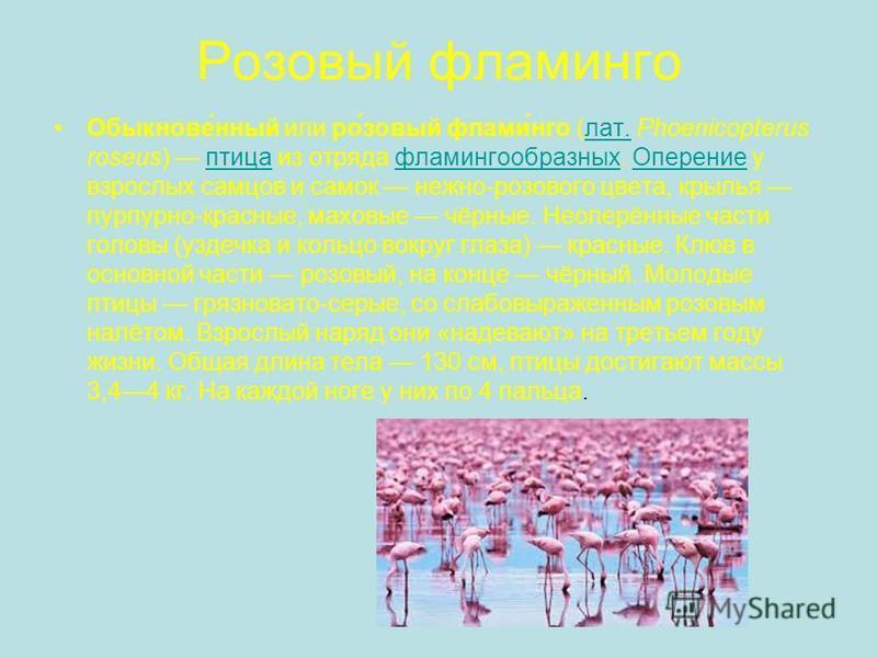 Роновый фламинего Обыкнове́нный или ро́новый фламин́его (лат. Phoenicopterus roseus) птица из отряда фламинегообразных. Оперение у взрослых самцов и самок нежно-розового цвета, крылья пурпурно-красные, маховые чёрные. Неоперённые части головы (уздечк