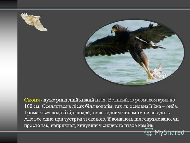 Скопа - дуже рідкісний хижий птах. Великий, із розмахом крил до 160 см. Оселяється в лісах біля водойм, так як основна її їжа – риба. Тримається подалі від людей, хоча жодним чином їм не шкодить. Але все одно при зустрічі зі скопою, її вбивають цілес