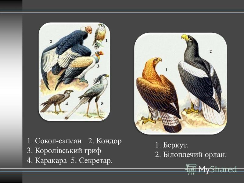 1. Беркут. 2. Білоплечий орлан. 1. Сокол-сапсан 2. Кондор 3. Королівський гриф 4. Каракара 5. Секретар.