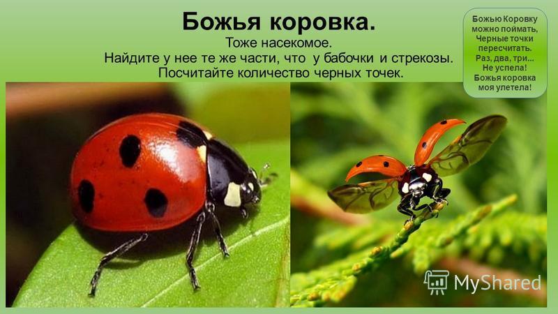 Божья коровка. Тоже насекомое. Найдите у нее те же части, что у бабочки и стрекозы. Посчитайте количество черных точек. Божью Коровку можно поймать, Черные точки пересчитать. Раз, два, три... Не успела! Божья коровка моя улетела!