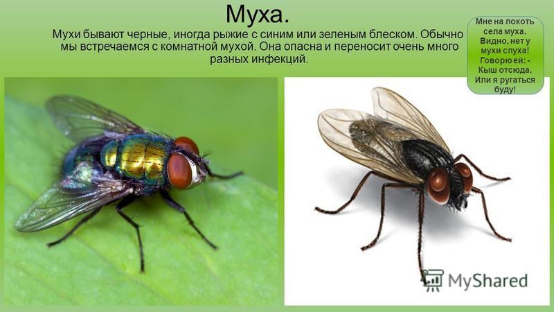 Муха. Мухи бывают черные, иногда рыжие с синим или зеленым блеском. Обычно мы встречаемся с комнатной мухой. Она опасна и переносит очень много разных инфекций. Мне на локоть села муха. Видно, нет у мухи слуха! Говорю ей: - Кыш отсюда, Или я ругаться