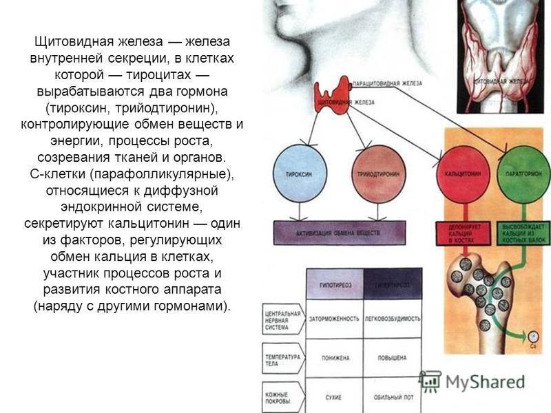 Щитовидная железа железа внутренней секреции, в клетках которой тироцитах вырабатываются два гормона (тироксин, трийодтиронин), контролирующие обмен веществ и энергии, процессы роста, созревания тканей и органов. C-клетки (парафолликулярные), относящ